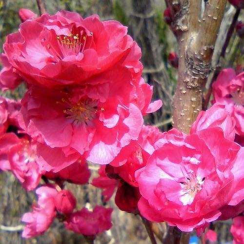 ハナモモ 照手(テルテ) 赤花 樹高1.8~2.0m前後 (根鉢含まず)