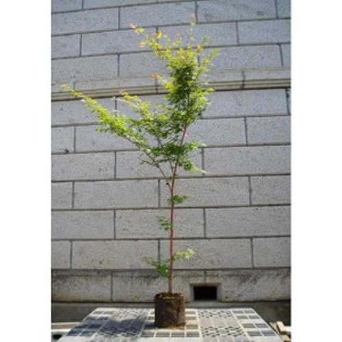 モミジ 珊瑚閣(サンゴカク) 樹高1.8~2.0m前後 (根鉢含まず)