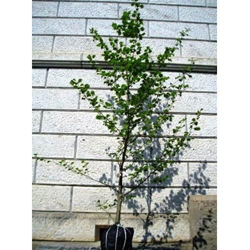 ヤマハンノキ 単木 樹高3.0m前後 (根鉢含まず)