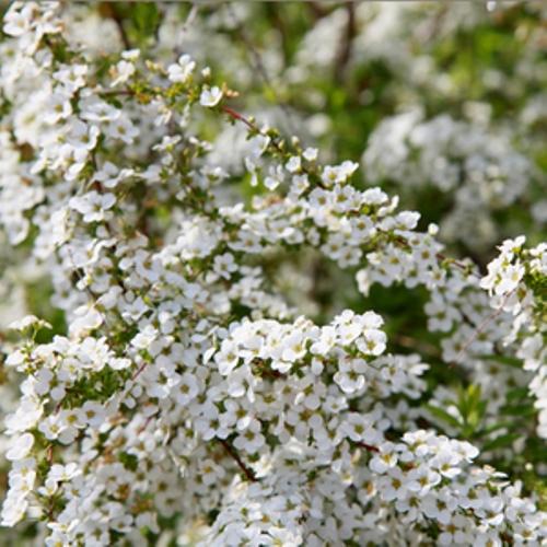 ユキヤナギ 12ポットセット 落葉樹 庭木 花木