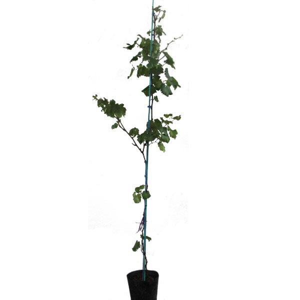 葡萄 (ブドウ) 巨峰(キョホウ) 1.8~2.0m前後 (根鉢含まず)