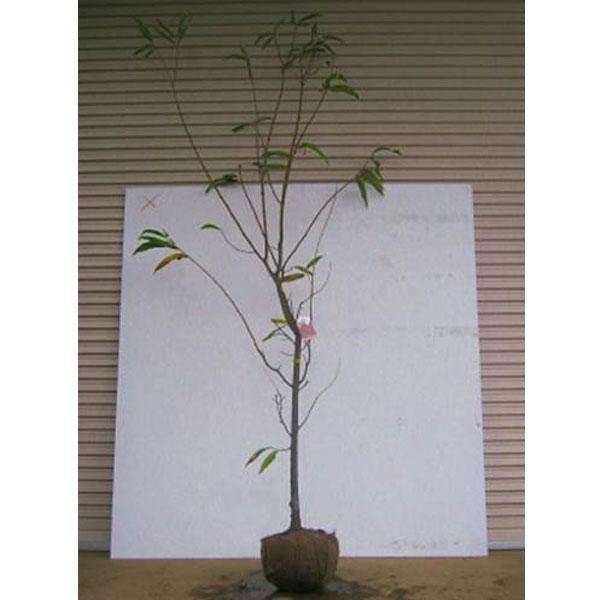 栗 銀寄 (ギンヨセ) 樹高1.8~2.0m前後 (根鉢含まず)