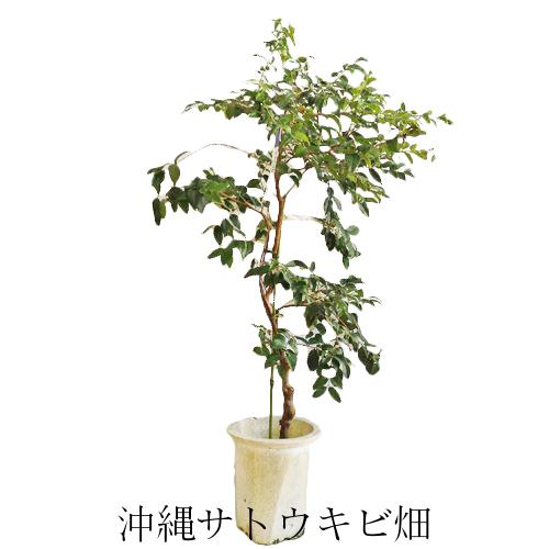 ジャボチカバ苗 (ビッグワン種)接木苗