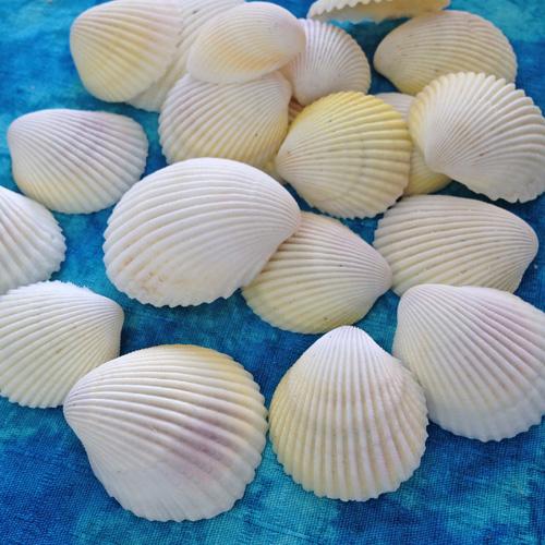 メール便 ネコポス 発送商品 NEW ARRIVAL プレゼント リュウキュウザルガイの貝殻100g入り ブライダルに