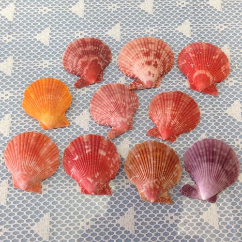 ミニサイズ ヒオウギ貝10枚セット 人気急上昇 卓出