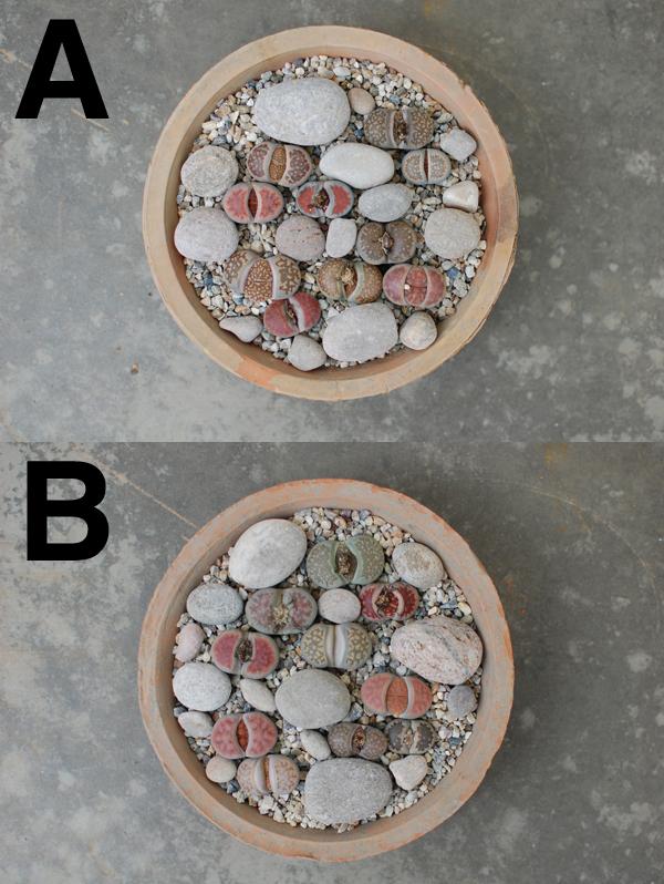[多肉植物生石花 / 可乐罐或浅 S]