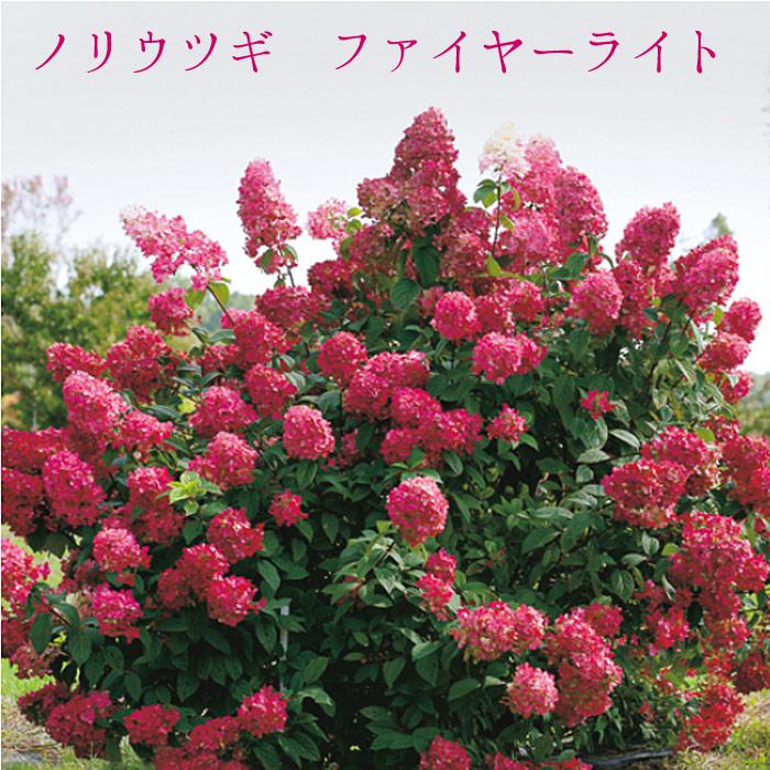 ノリウツギ 苗 ノリウツギ ファイヤーライト 【落葉低木】10.5cmPOT