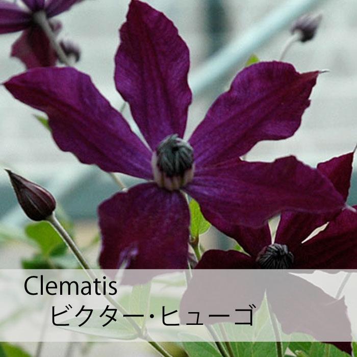 クレマチス 苗 インテグリフォリア ビクター  ヒューゴ 青  紫系