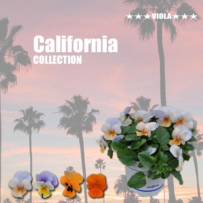 【限定販売ビオラ】プレミアムビオラ カリフォルニアコレクション 苗 選べる4色 3POTset