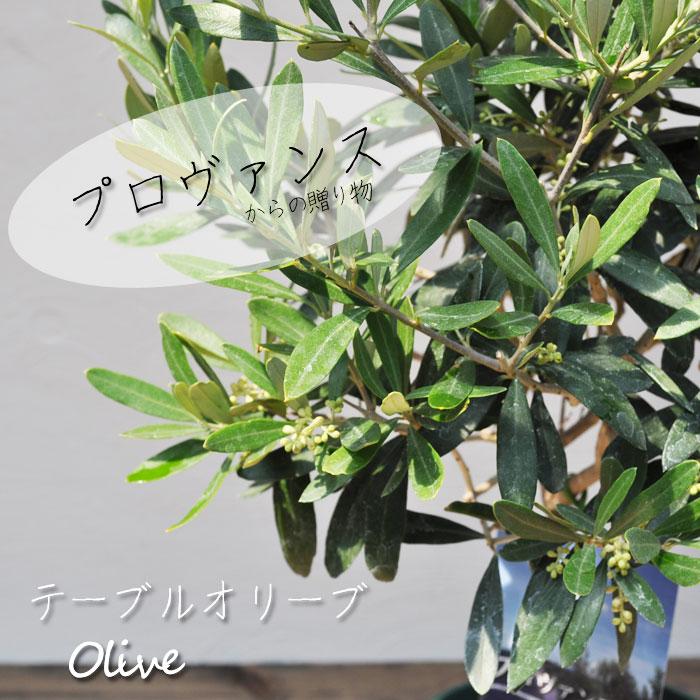 【常緑高木】【果樹】オリーブの木 テーブルオリーブ