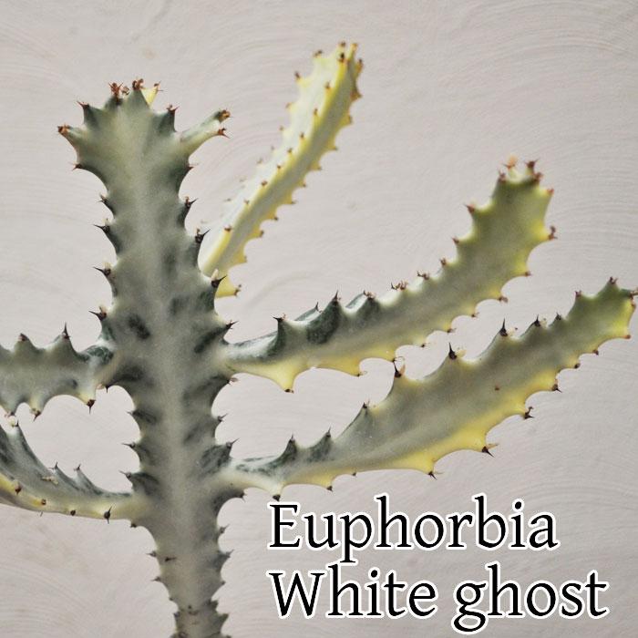 【観葉植物】【人気】ユーフォルビア ホワイトゴースト 陶器鉢入り 現品