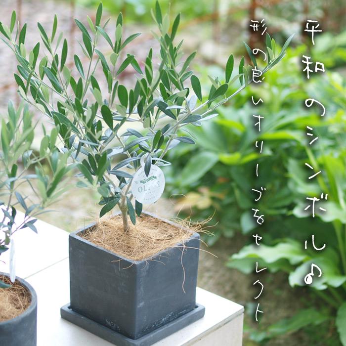 オリーブの鉢植え 選べる2種類の鉢の形【観葉】【ギフト】【自分用】【送料無料・北海道発送不可・東北別途送料500円】【父の日にも】