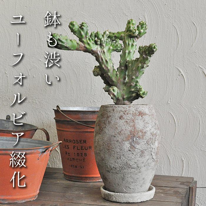 【観葉植物】【人気】ユーフォルビア 綴化 陶器鉢入り 現品