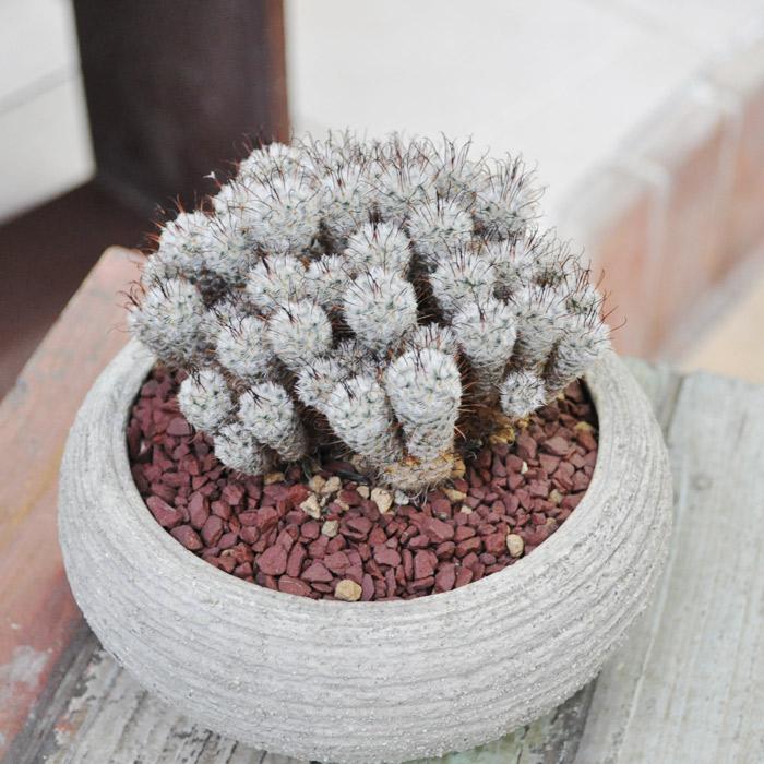 【観葉植物】【多肉植物】【レアサボテン】ペレスデラロサエ マミラリア