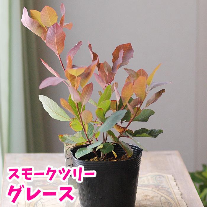 たくさんの赤いケムリ状の穂をつける 落葉花木 高級品 新品■送料無料■ グレース スモークツリー