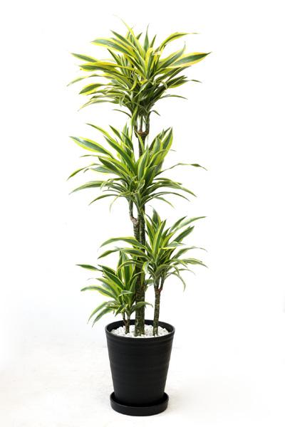 観葉植物ドラセナ ワーネッキー レモンライム 10号セラアート鉢 大型 インテリア おしゃれ 引越し祝い 新築祝い 観葉植物 開店祝いに 母の日