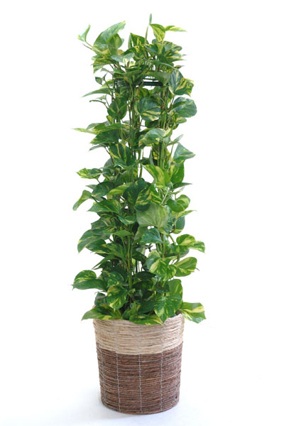 Pothos tower with no. 8 bowls, bowls with cover plants