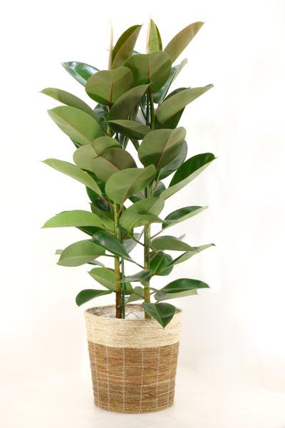 ゴムの木 観葉植物 フィカス ロブスター ゴムノキ 10号 鉢カバー付 大型 インテリア 新築祝い お祝い ゴムの木 観葉植物