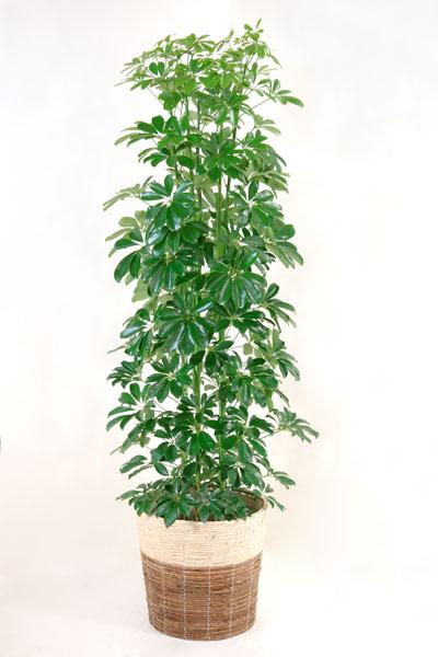 カポック 観葉植物 ホンコン カポック 10号鉢 鉢カバー付 大型 インテリア 引越し祝い 開店祝い 新築祝い お祝い 観葉植物 母の日