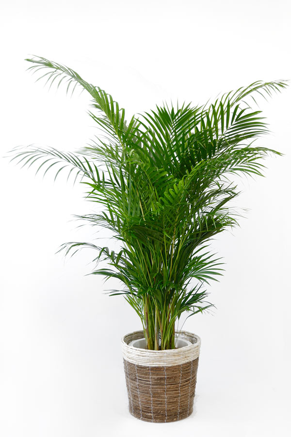 観葉植物アレカヤシ ヤシの木 10号 鉢カバーオプション 大型 観葉植物 引越し祝い 新築祝い 開店祝い インテリア 母の日