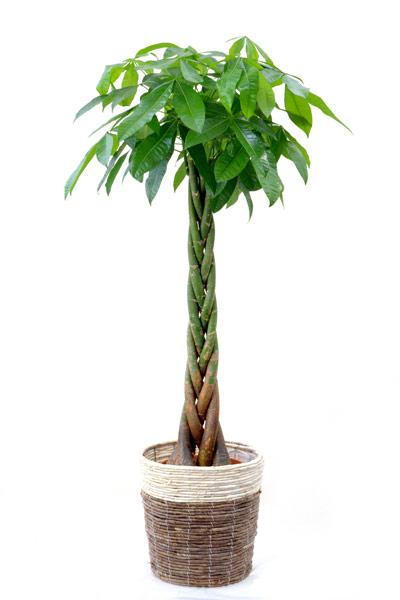 観葉植物 パキラ 10号鉢 鉢カバー付 送料無料 大型 インテリア 引越し祝い 新築祝い 開店祝い アジアン おしゃれ 母の日