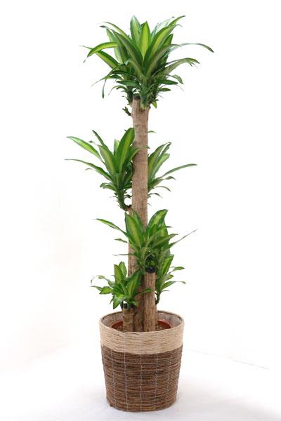 観葉植物 幸福の木 10号 鉢カバー付 送料無料 大型 インテリア おしゃれ 引越し祝い 新築祝い ドラセナ 母の日