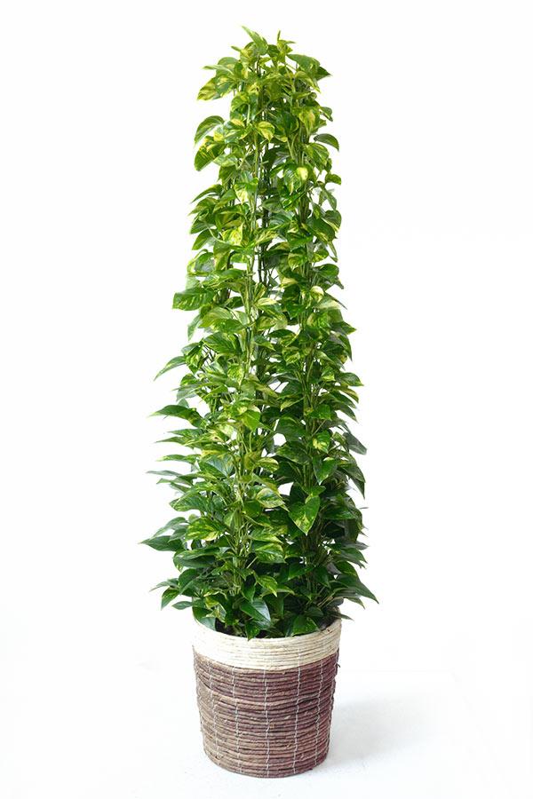 ポトス 観葉植物 ポトス タワー仕立て 10号 鉢カバー付 大型 インテリア アジアン 引越し祝い 開店祝い 新築祝い お祝い 観葉植物 母の日
