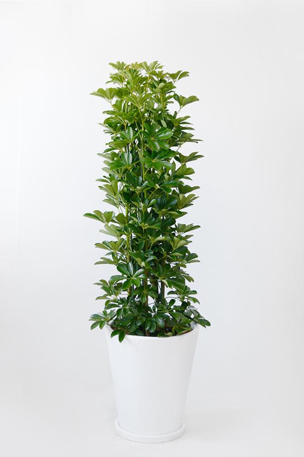 ホンコンカポック10号 陶器(ファイバークレイ)鉢カバー付 大型 観葉植物 インテリア  アジアン おしゃれ 引越し祝い 開店祝い 新築祝い お祝い 観葉植物 カポック
