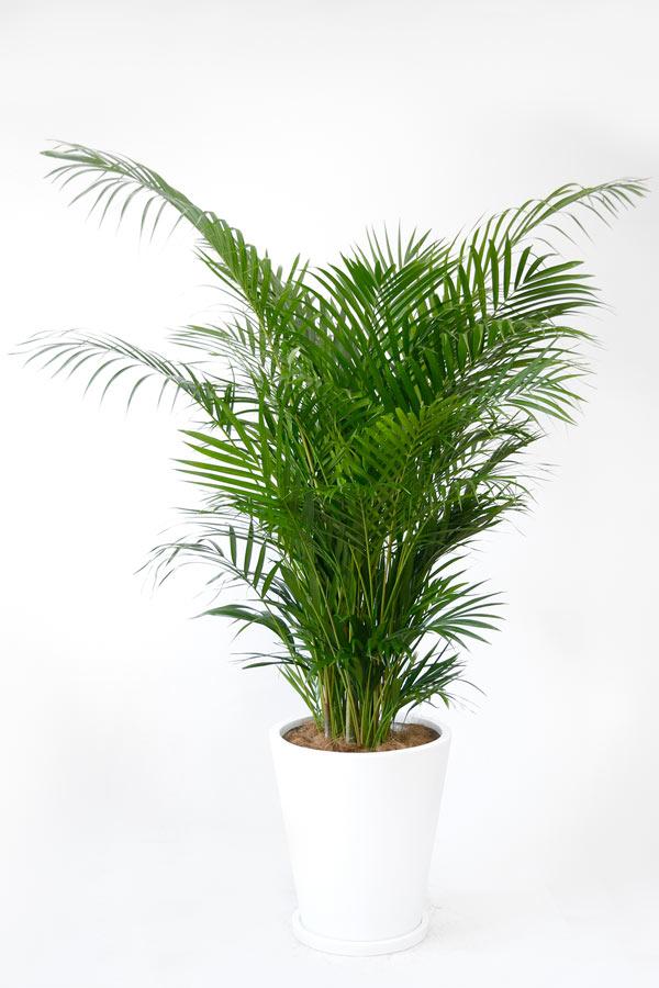 saisyokukenbi areca palm no 10 pottery bowl cover with large plant