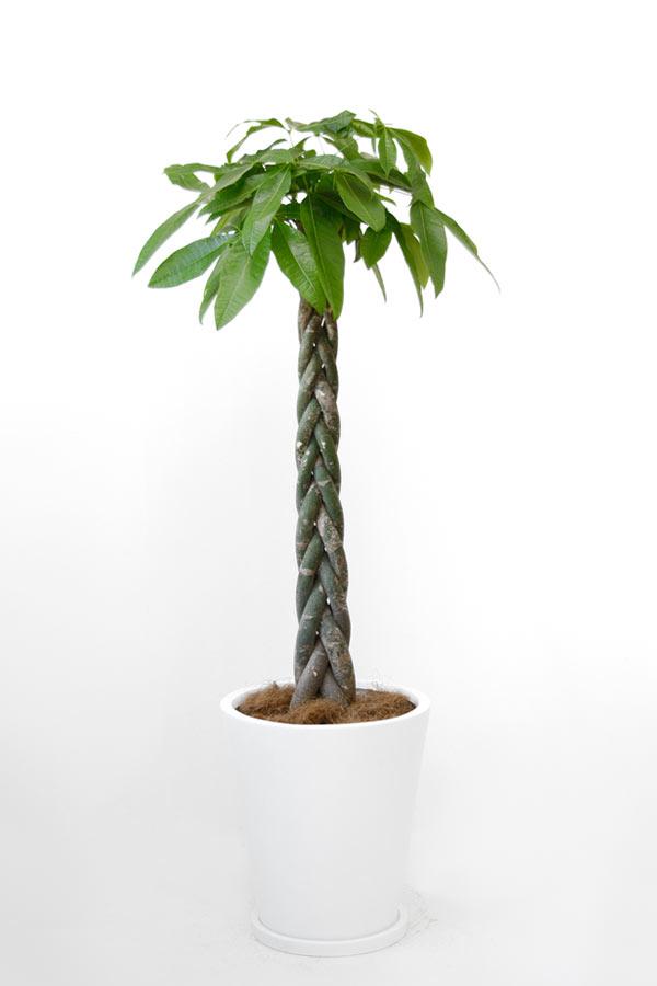 パキラ 10号 ホワイト 陶器鉢カバー付 セット 大型 観葉植物 インテリア おしゃれ 人気 引越し祝い 開店祝い お祝い 鉢植え 母の日