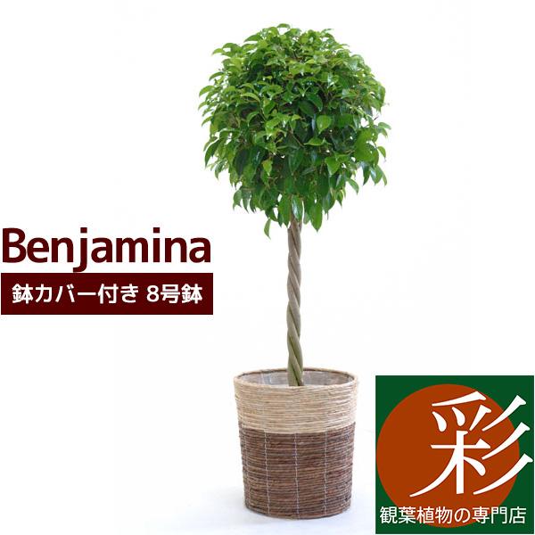 ベンジャミナ ベンジャミン 8号鉢 のし対応 ラッピング無料 ギフトカード無料 配送日指定 楽ギフ_メッセ入力 鉢カバー付き インテリア インテリアグリーン km070001 観葉植物 NEW ARRIVAL 以上のおトクです 卓越 税込 ギフトにも最適 送料