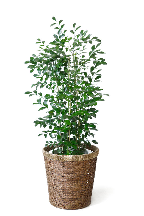 シルクジャスミン 観葉植物 シルクジャスミン ゲッキツ 8号鉢 大型 観葉植物 お祝い
