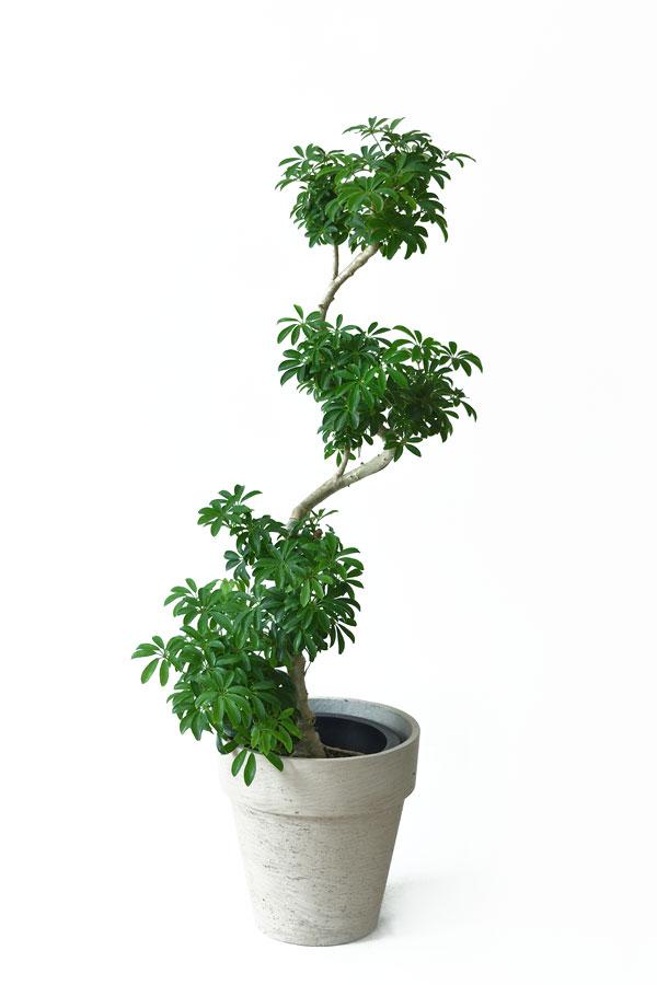 シェフレラコンパクター 曲がり樹形 8号鉢 大型 観葉植物 南国 おしゃれ インテリア 開店祝い お祝い 新築祝い