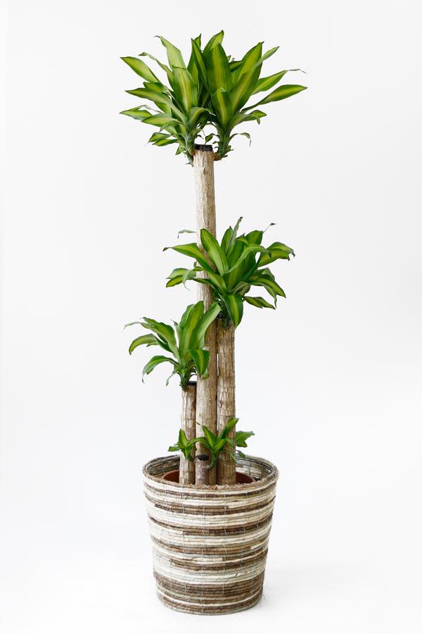 幸福の木 観葉植物 幸福の木 10号鉢 お祝い 大型 インテリア 観葉植物 母の日