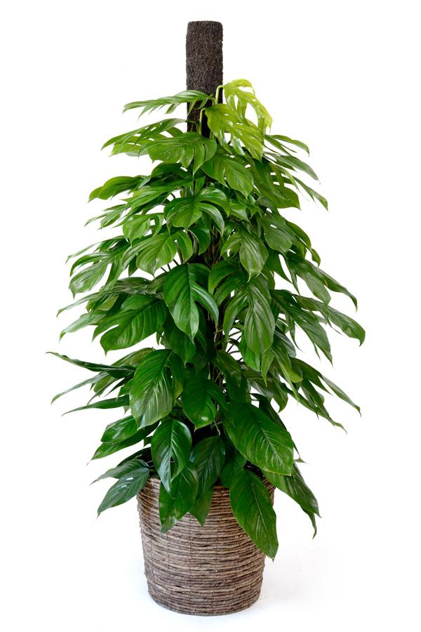 観葉植物 マングーカズラ 10号鉢 大型 開店祝い 新築祝い お祝い 母の日