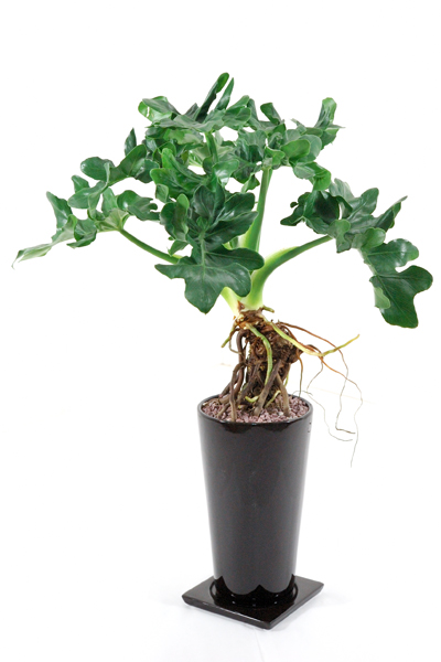 Houseplant with leaf ♪ セロウム supermarket atom cocoa brown round earthenware pot cute to the people in the know