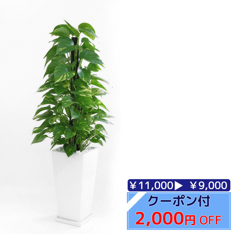 ◆限定クーポン配布中◆観葉植物 ポトス ヘゴ仕立て スクエア 白 陶器 インテリア 大型 開店祝い 新築祝い 観葉植物 母の日