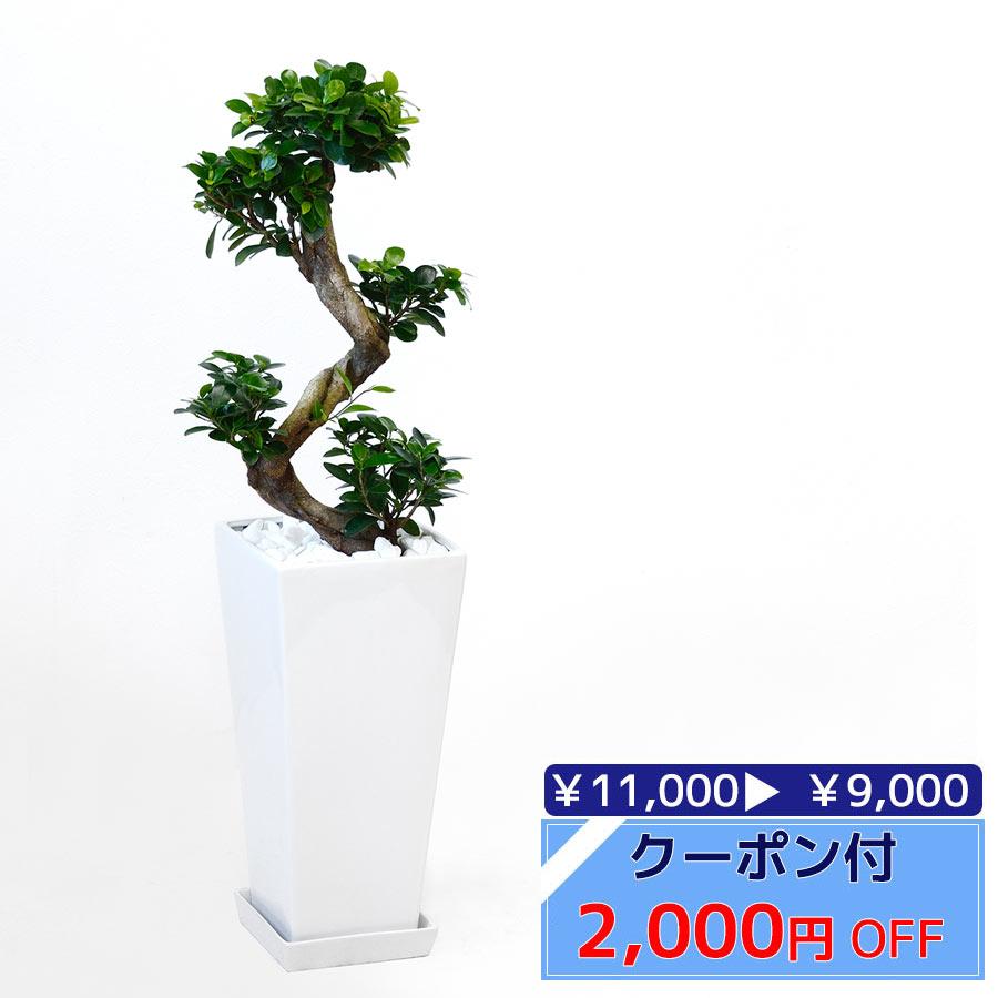 ◆限定クーポン配布中◆観葉植物 ガジュマル(昇り竜) スクエア白陶器 送料無料 開店祝い お祝い 大型 インテリア アジアン 観葉植物 母の日