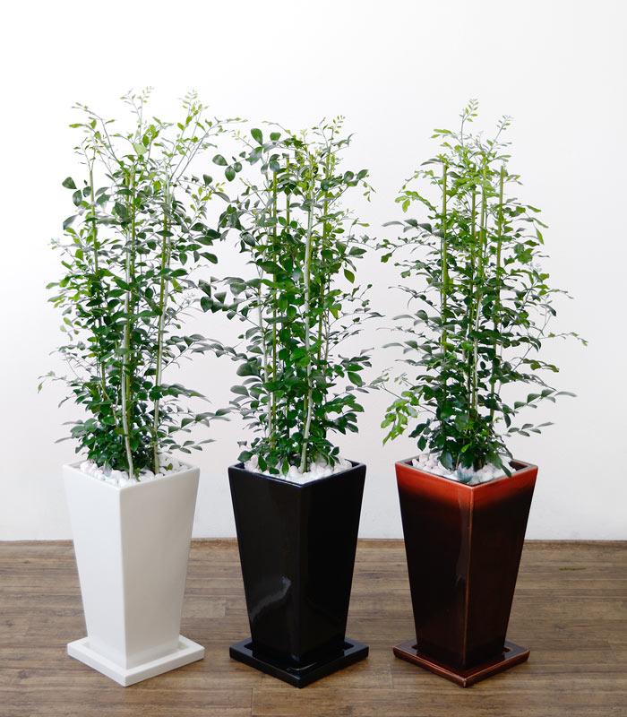 観葉植物 ゲッキツ(シルクジャスミン) 選べる3色 スクエア陶器 インテリア アジアン おしゃれ 引越し祝い 開店祝い 新築祝い お祝い 観葉植物 大型 母の日