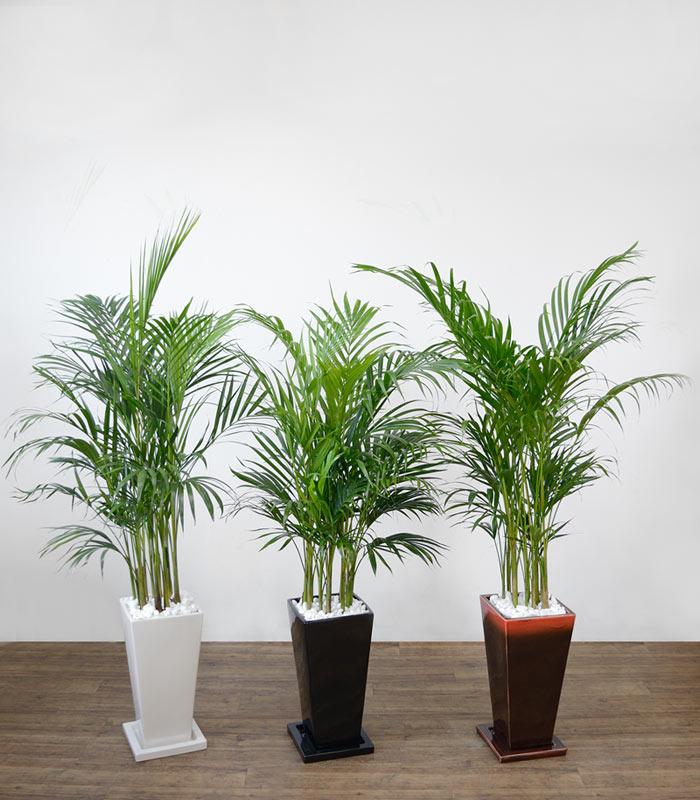 観葉植物 アレカヤシ 選べる3色 スクエア陶器 インテリア アジアン おしゃれ 引越し祝い 開店祝い 新築祝い お祝い 観葉植物 大型 母の日