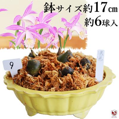 タイリントキソウ(大輪朱鷺草・タイワントキソウ)濃い紫色の花 約6球黄色系の小鉢付き【送料無料】