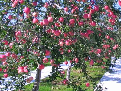 青森県産りんご 世界一 特大大玉5kg