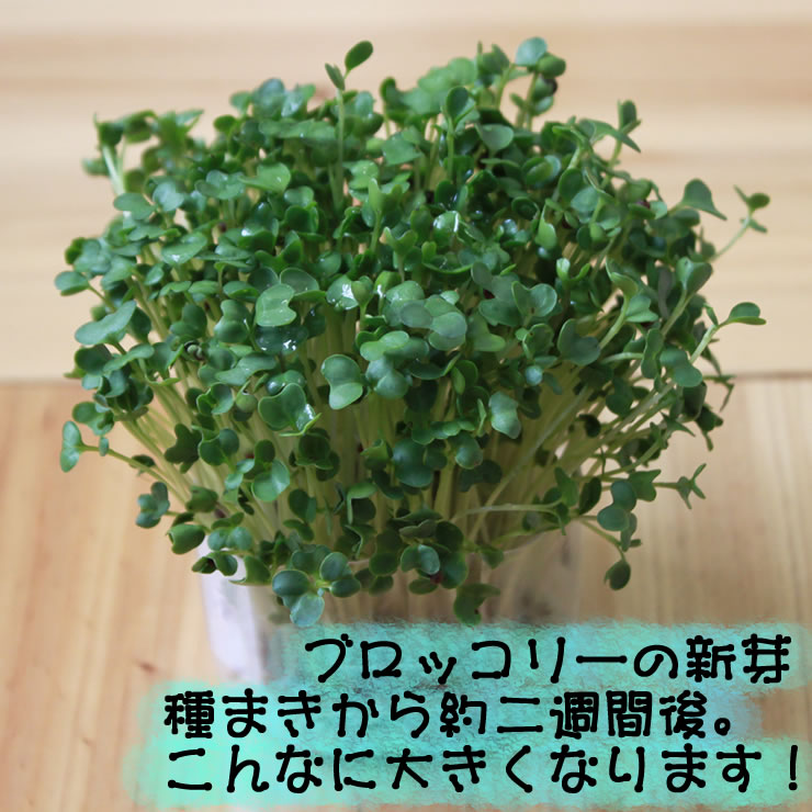 Seeds of broccoli sprouts (sprout) 1 bag