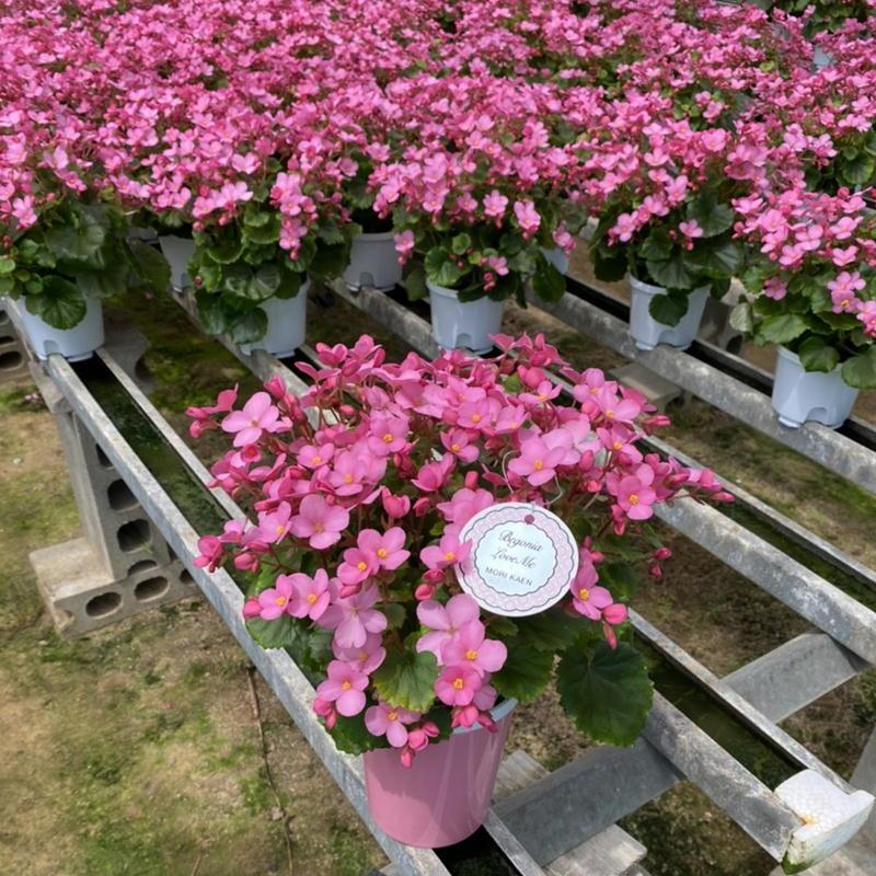 敬老の日 2021 ベコニア ラブミー 新品未使用 人気 小さい可愛らしいお花がたくさん咲くベコニアです クリスマスベゴニア 珍しい品種の鉢植 遅れてごめんね 花鉢 2021敬老の日 プレゼント 北海道 年末年始大決算 一部離島へのお届け不可商品 ギフト 花 お祝い そのまま飾れる花 フラワー 室内に花が欲しい 沖縄 花は秋から咲く珍しい品種の鉢植え