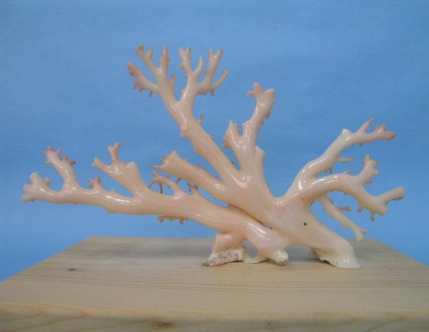 高知沖産白珊瑚の原木・拝見・置物(艶出し加工済み)【送料無料】【smtb-KD】