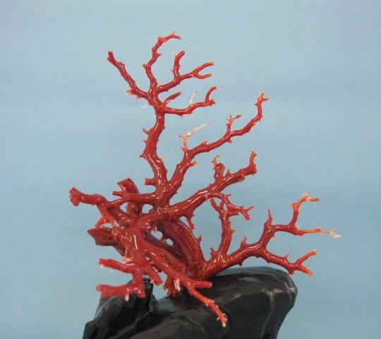 高知沖産血赤珊瑚の拝見・置き物・原木/置物/飾り/黒檀台/【送料無料】【smtb-KD】