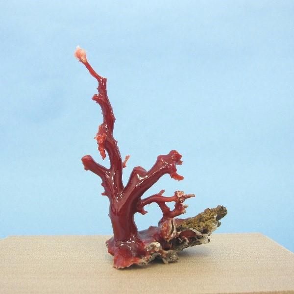 高知沖産血赤珊瑚の拝見・原木・置き物(艶出し加工済み)/飾り/置物【送料無料】【smtb-KD】