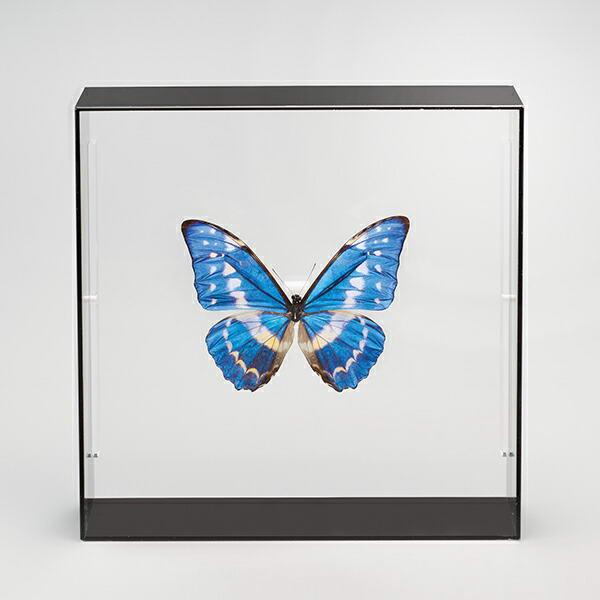 キプリスモルフォ 昆虫標本