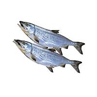 【】【北海道産】[新巻鮭2尾・(5kg前後)]【発泡入】:十勝亭