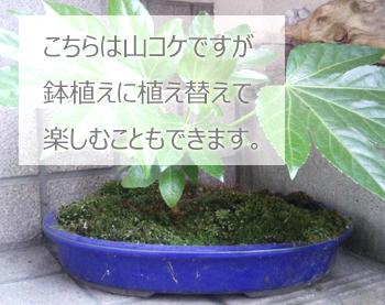 潮湿的苔藓苔藓增长工具包